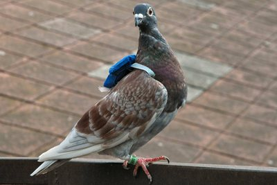 Una paloma a la que se le ha sujetado un emisor GPS que sólo pesa 16 gramos para estudiar sus desplazamientos. / ZSUZSA AKOS (El País)