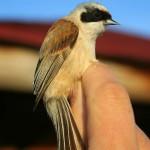 Las Minas - Aves - Pájaro Moscón
