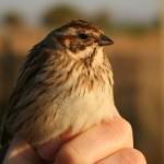 Las Minas - Aves - escribano palustre