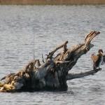 Cormorán grande(Phalacrocorax carbo), Juvenil secándose el plumaje al sol después de pescar, Laguna de El Portil (Huelva)