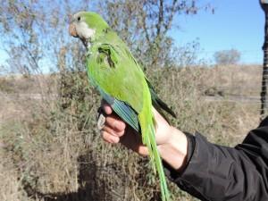 Cotorra argentina (Myiopsitta monachus), menudos picotazos pegaba!!!Fotografía: Carlos Ponce. Mano: Cristian Pérez ;)
