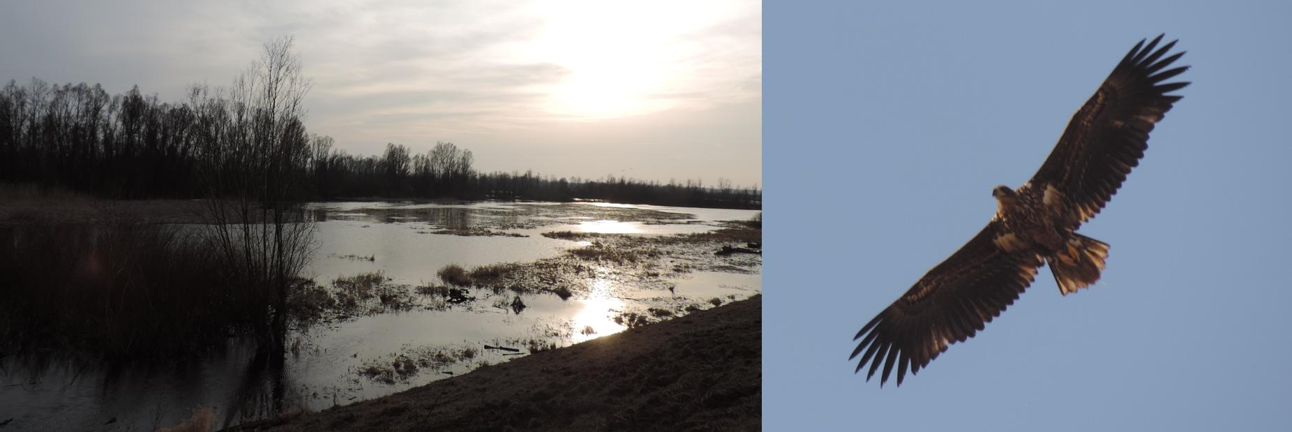 Paisaje típico del Parque Nacional Ujście Warty y juvenil de pigargo europeo.