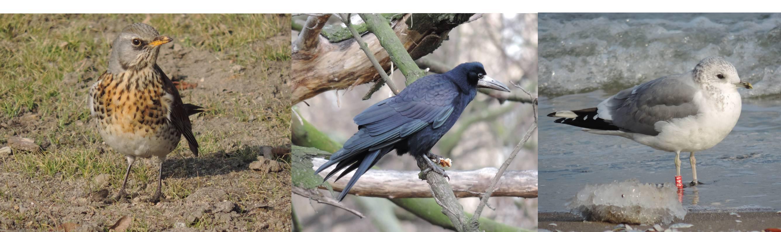 Un placer disfrutar de estas aves comunes y confiadas en Polonia, frente a su escasez o timidez en España.