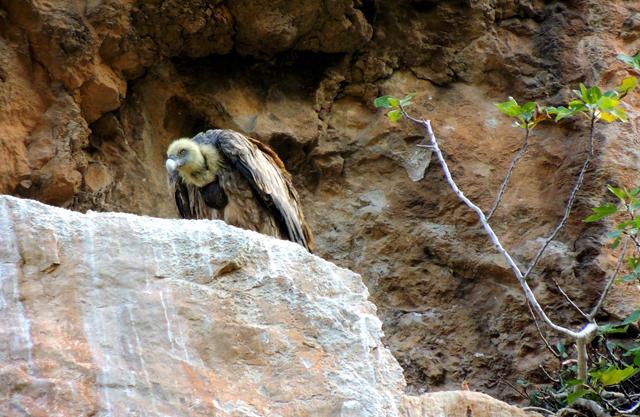 Foz de Lumbier. Buitre leonado (Gyps fulvus). Foto de Adrian Barrero