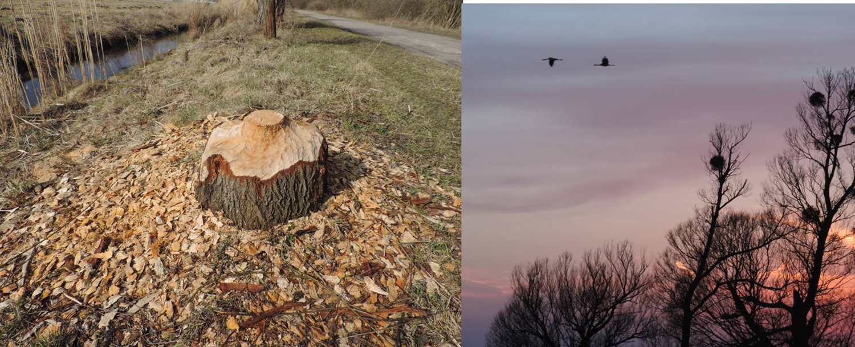 Restos de árbol roido de castor y grullas entrando a dormir al Parque Nacional.