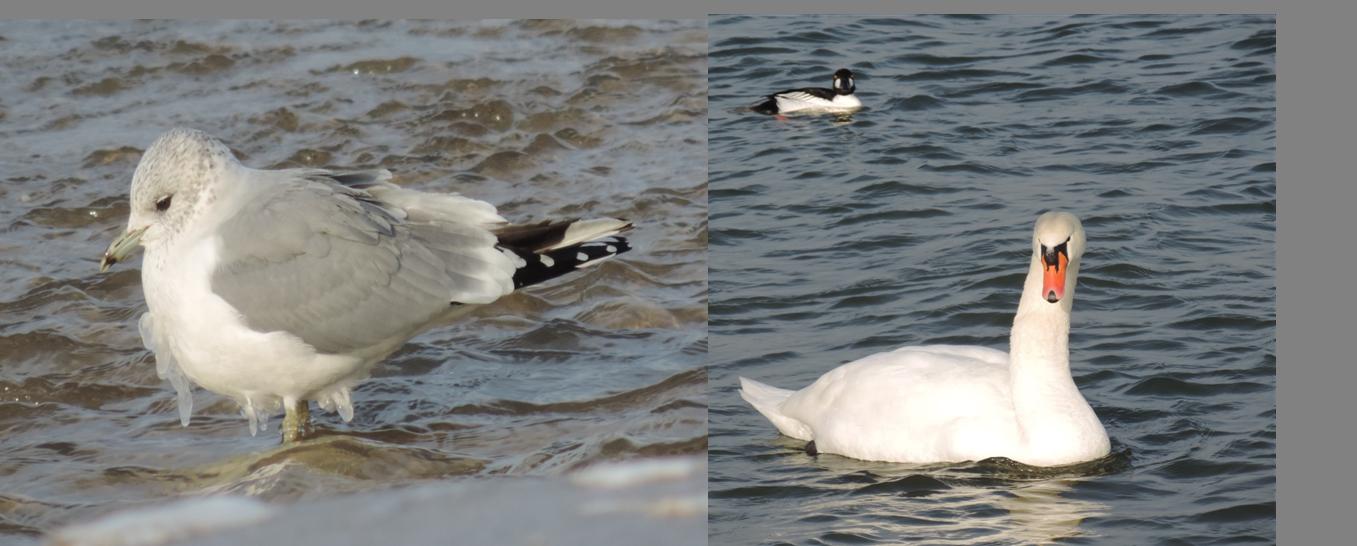 Gaviota cana con estalactitas (a pesar del día soleada que hacía), y cisne vulgar y porrón osculado posando para la foto ;)