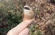 Macho juvenil de pájaro moscón: Autora: Beatriz Vigalondo.